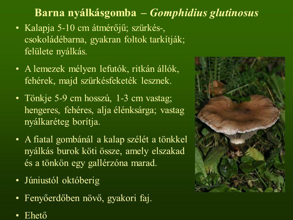Ragadós bocskorosgomba – Volvariella speciosa  Kalapja 6-14 cm átmérőjű; harang alakú, majd kiterül, piszkosfehér, felülete ragadós.