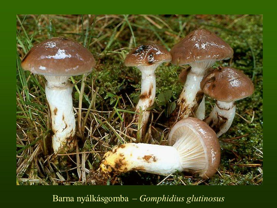 Hygrophoraceae Hygrophorus – Csigagomba nemzetség  A termőtest kicsi vagy közepes termetű  A kalap domború, gyakran púpos, idővel ellaposodik, többnyire ragadós  A lemez ritkán álló, lefutó, vastag  A tönk lefelé elvékonyodó, tapadós vagy száraz, felső része mindig szemcsés  A hús fehér, egy-egy fajnál sárgul vagy vörösdik  A spórapor fehér  Mikorrhizásak  Lomb- és fenyőerdőkben  Általában ősszel hoznak termőtestet  Ehetőek