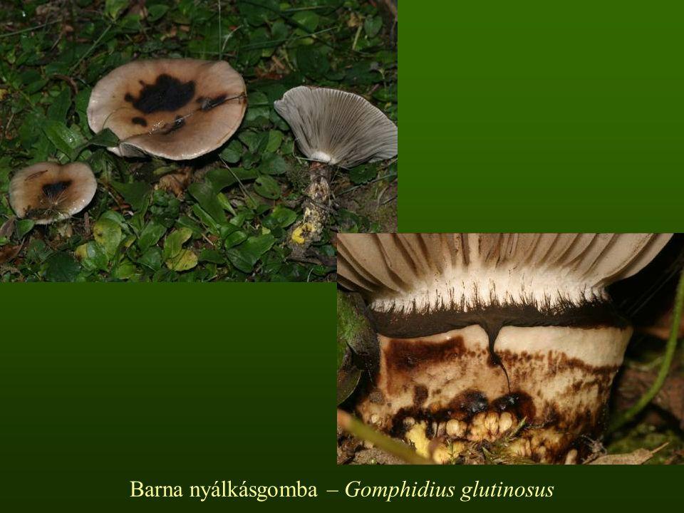 Bársonyostönkű cölöpgomba – Paxillus atrotomentosus Kalapja 5-15-(20) cm, tölcséresedő, sokszor féloldalas vagy szabálytalan széle begöngyölt felszíne molyhos, sötétbarna.
