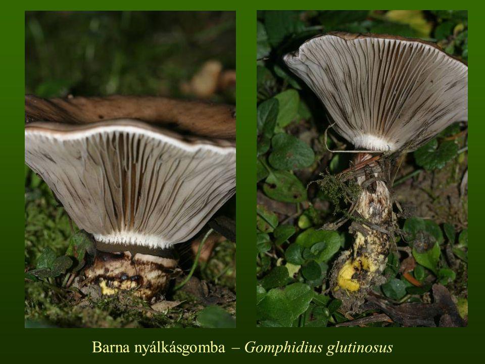 Entolomataceae Clitopilus – Tövisaljagomba nemzetség  Kis közepes vagy nagy termetű fajok  A kalap kezdetben domború később tölcséresedik  A lemez a tönkre nő, mélyen lefutó lehet, rózsaszínes, szürkés  A tönk gyakran oldalt álló, egyes fajoknál hiányzik  A hús több fajnál liszt- vagy gyümölcs szagú  A spórapor rózsaszínű  Szaprotrófok  Lomb- és fenyőerdőben, növényi maradványon  Ehetőek, vagy étkezésre alkalmatlanok.