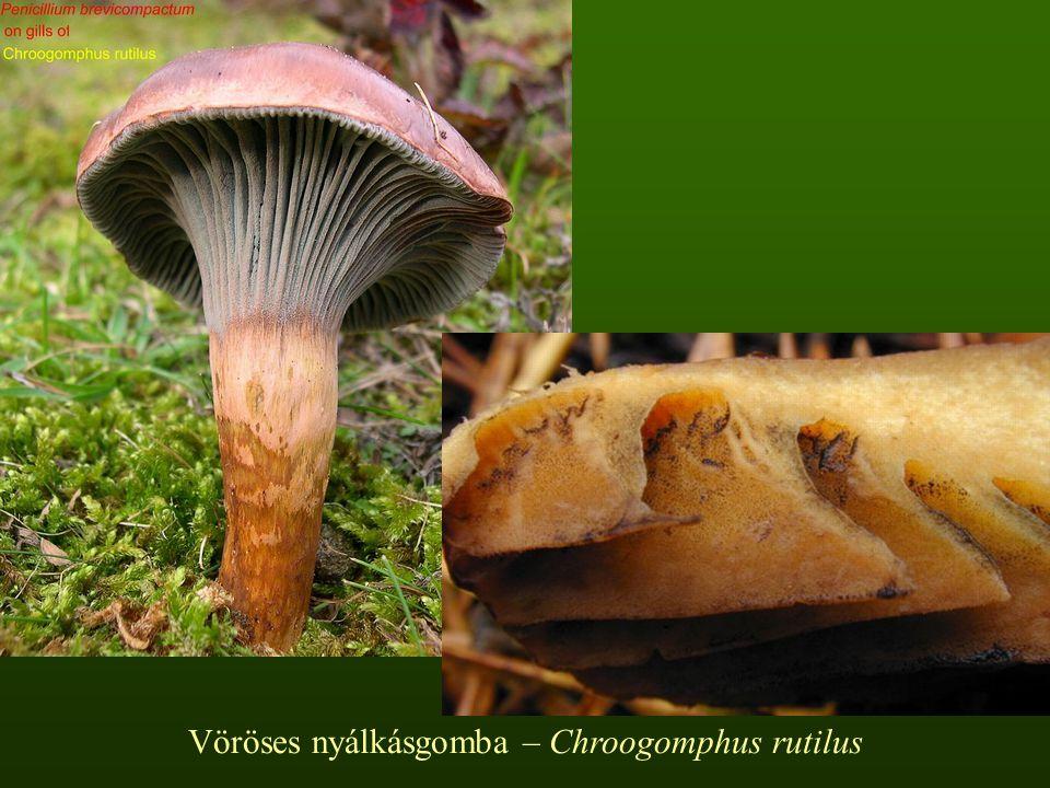 Szürke selyemgomba – Amanita vaginata Kalapja 3-10 cm, törékeny, vékony húsú, hamar kiterül, középen mindig púpos, széle erősen bordás.
