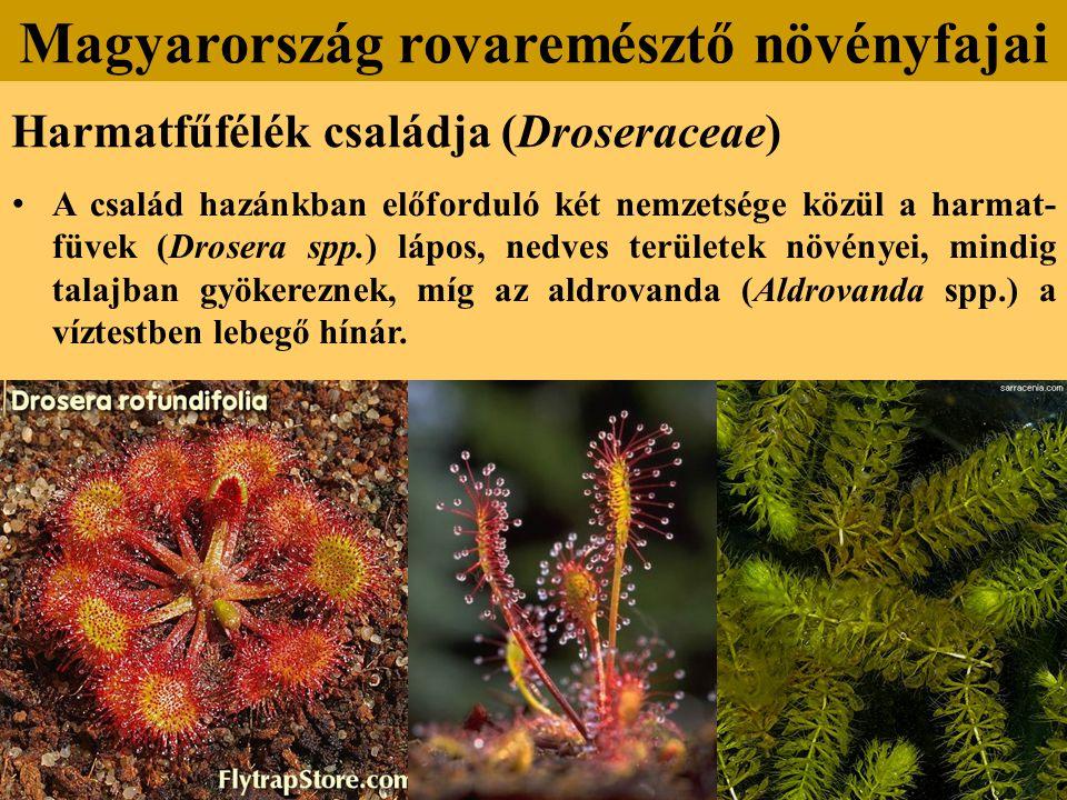Harmatfűfélék családja (Droseraceae) A család hazánkban előforduló két nemzetsége közül a harmat- füvek (Drosera spp.) lápos, nedves területek növényei, mindig talajban gyökereznek, míg az aldrovanda (Aldrovanda spp.) a víztestben lebegő hínár.