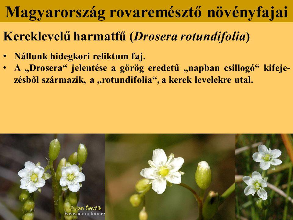Kereklevelű harmatfű (Drosera rotundifolia) Nállunk hidegkori reliktum faj.