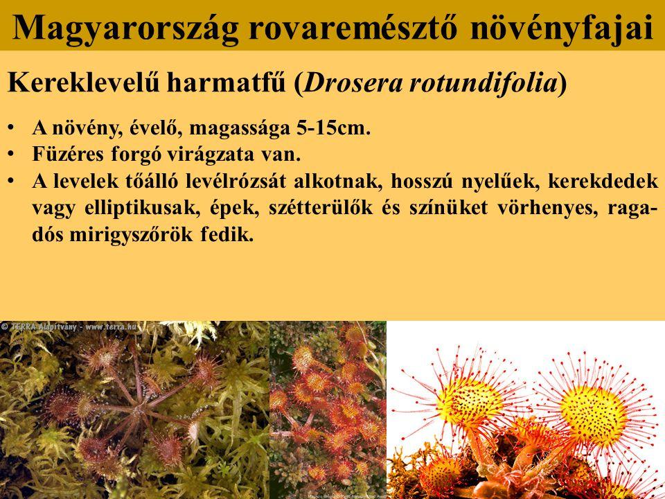 Kereklevelű harmatfű (Drosera rotundifolia) A növény, évelő, magassága 5-15cm.