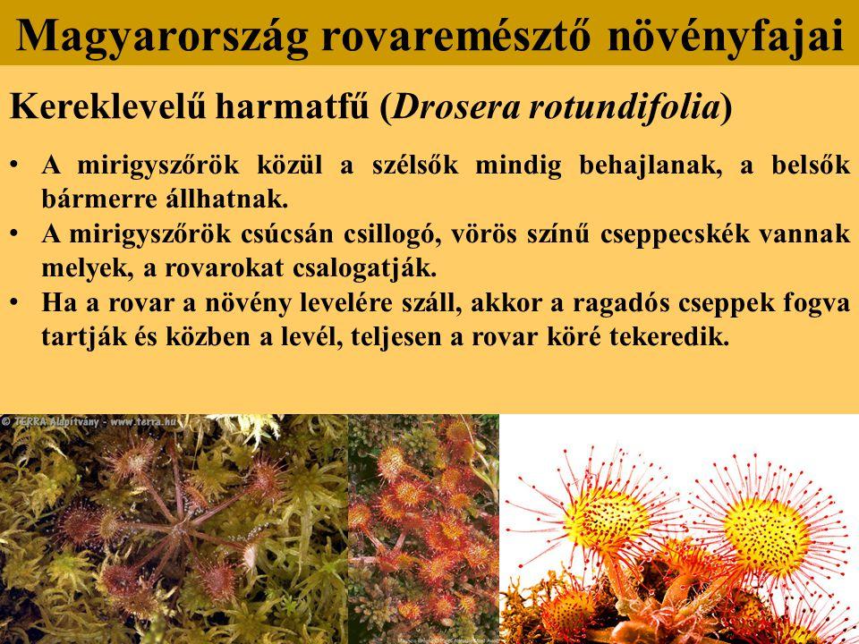 Kereklevelű harmatfű (Drosera rotundifolia) A mirigyszőrök közül a szélsők mindig behajlanak, a belsők bármerre állhatnak.