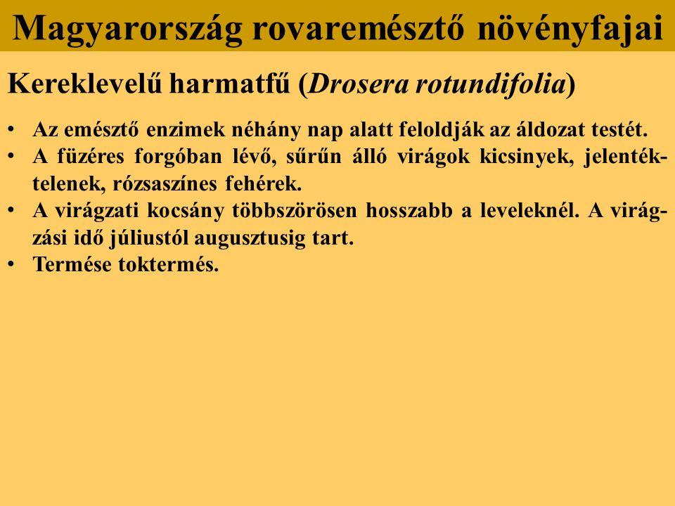Kereklevelű harmatfű (Drosera rotundifolia) Az emésztő enzimek néhány nap alatt feloldják az áldozat testét.