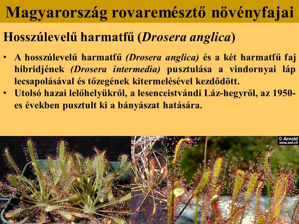 Hosszúlevelű harmatfű (Drosera anglica) A hosszúlevelű harmatfű (Drosera anglica) és a két harmatfű faj hibridjének (Drosera intermedia) pusztulása a vindornyai láp lecsapolásával és tőzegének kitermelésével kezdődött.