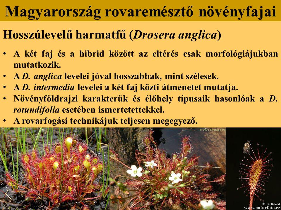 Hosszúlevelű harmatfű (Drosera anglica) A két faj és a hibrid között az eltérés csak morfológiájukban mutatkozik.