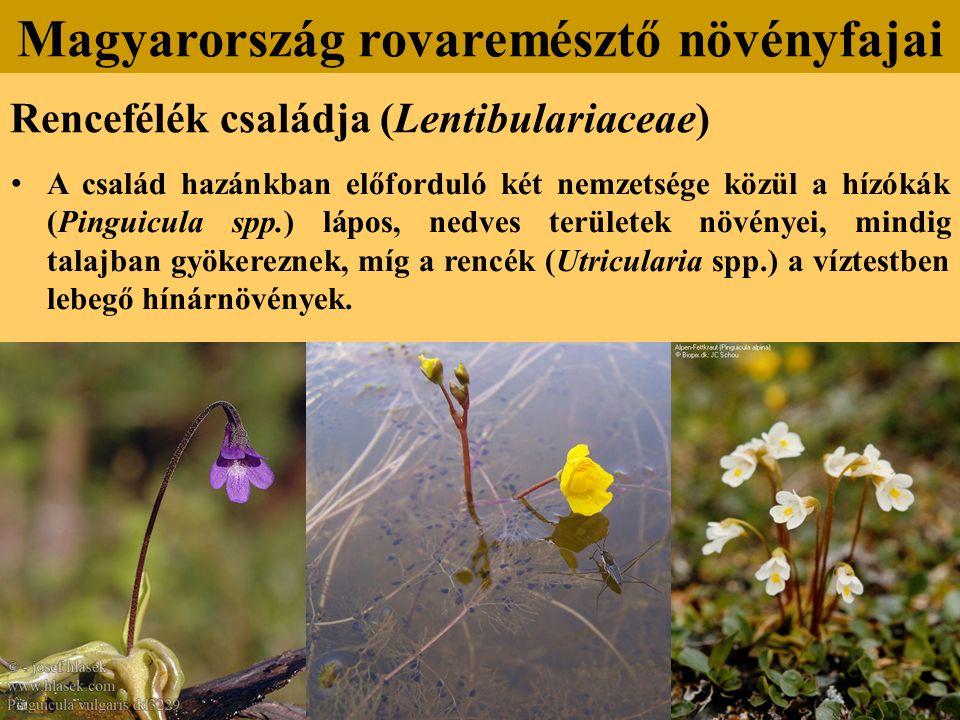 Rencefélék családja (Lentibulariaceae) A család hazánkban előforduló két nemzetsége közül a hízókák (Pinguicula spp.) lápos, nedves területek növényei, mindig talajban gyökereznek, míg a rencék (Utricularia spp.) a víztestben lebegő hínárnövények.