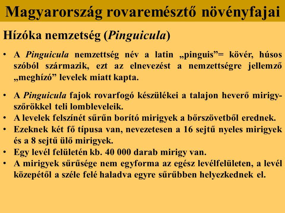 """Hízóka nemzetség (Pinguicula) A Pinguicula nemzettség név a latin """"pinguis = kövér, húsos szóból származik, ezt az elnevezést a nemzettségre jellemző """"meghízó levelek miatt kapta."""