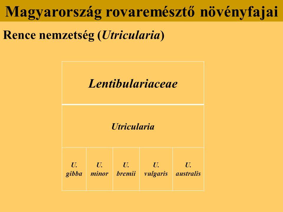 Lentibulariaceae Utricularia U.gibba U. minor U. bremii U.