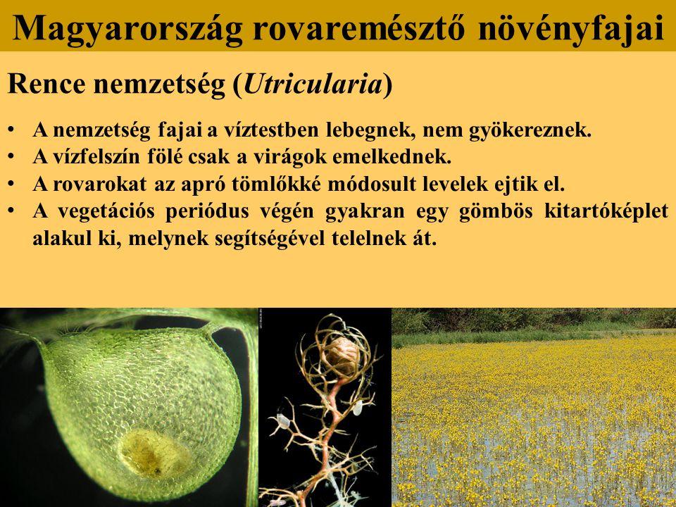 Rence nemzetség (Utricularia) A nemzetség fajai a víztestben lebegnek, nem gyökereznek.
