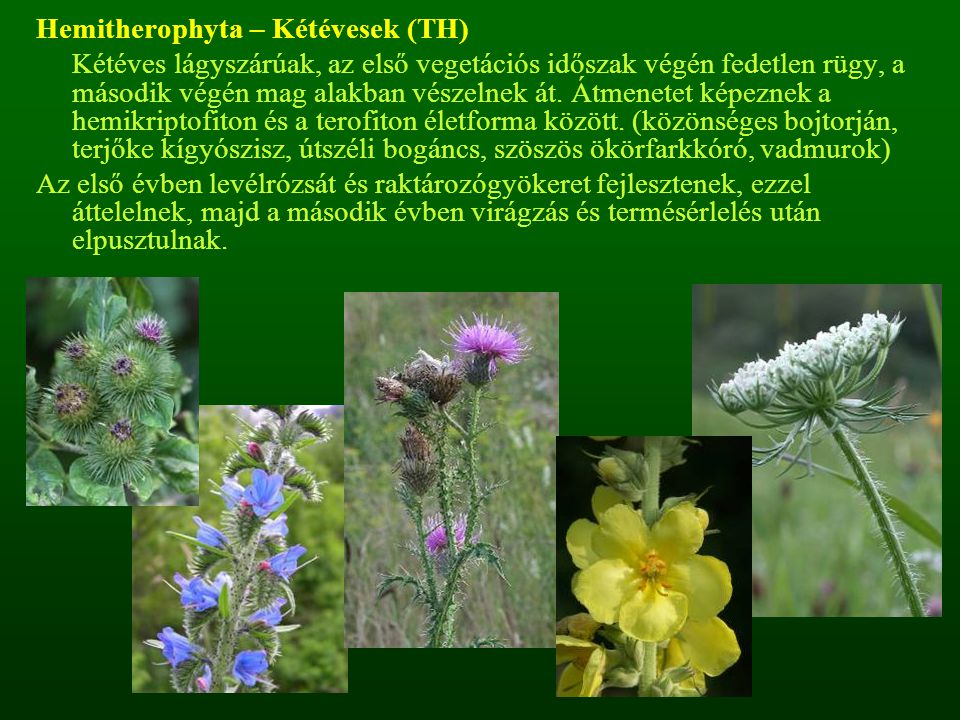Hemitherophyta – Kétévesek (TH) Kétéves lágyszárúak, az első vegetációs időszak végén fedetlen rügy, a második végén mag alakban vészelnek át. Átmenet