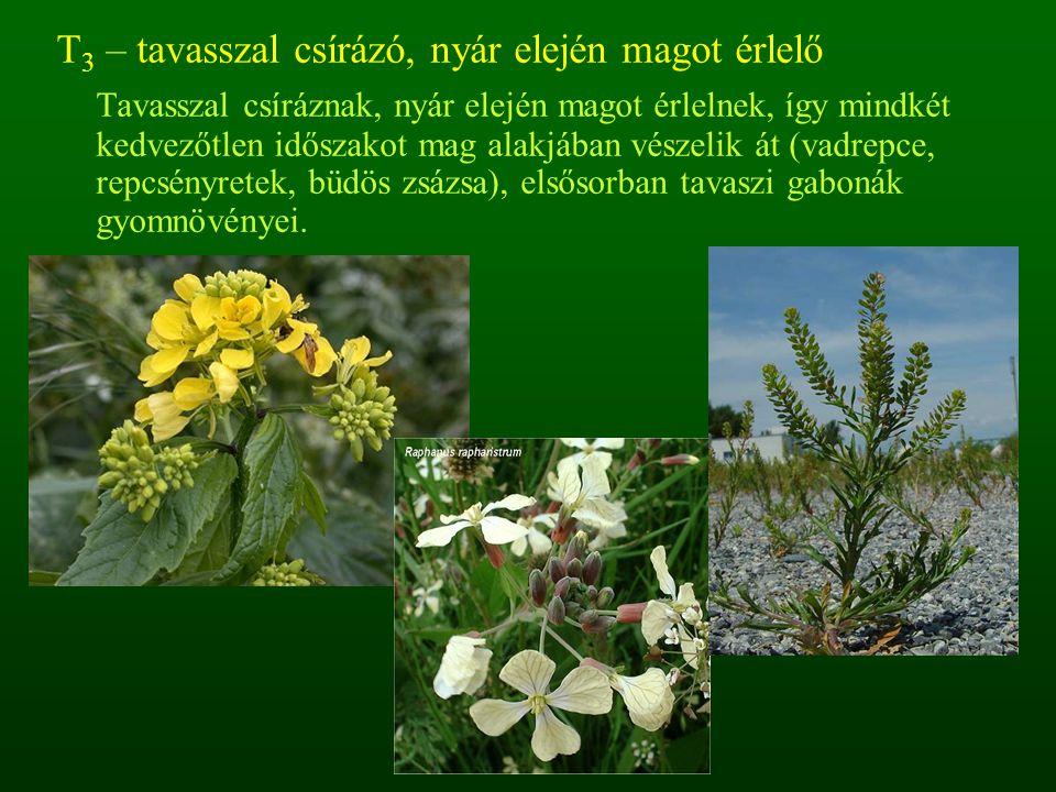 T 4 – nyár elején csírázó, ősszel magot érlelő Tavasz végén (nyár elején) csíráznak, életciklusuk késő őszig tart.