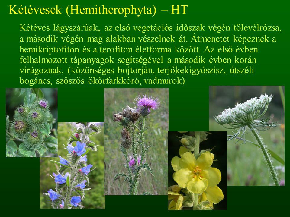Kétévesek (Hemitherophyta) – HT Kétéves lágyszárúak, az első vegetációs időszak végén tőlevélrózsa, a második végén mag alakban vészelnek át. Átmenete
