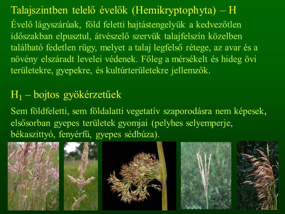 Talajszintben telelő évelők (Hemikryptophyta) – H Évelő lágyszárúak, föld feletti hajtástengelyük a kedvezőtlen időszakban elpusztul, átvészelő szervü