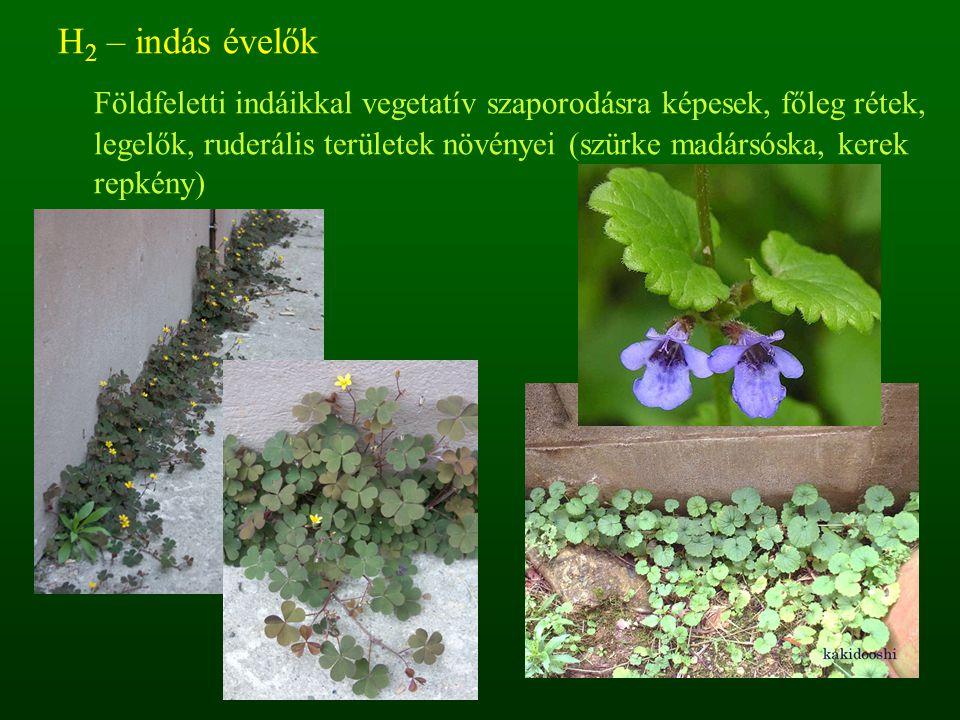 H 2 – indás évelők Földfeletti indáikkal vegetatív szaporodásra képesek, főleg rétek, legelők, ruderális területek növényei (szürke madársóska, kerek