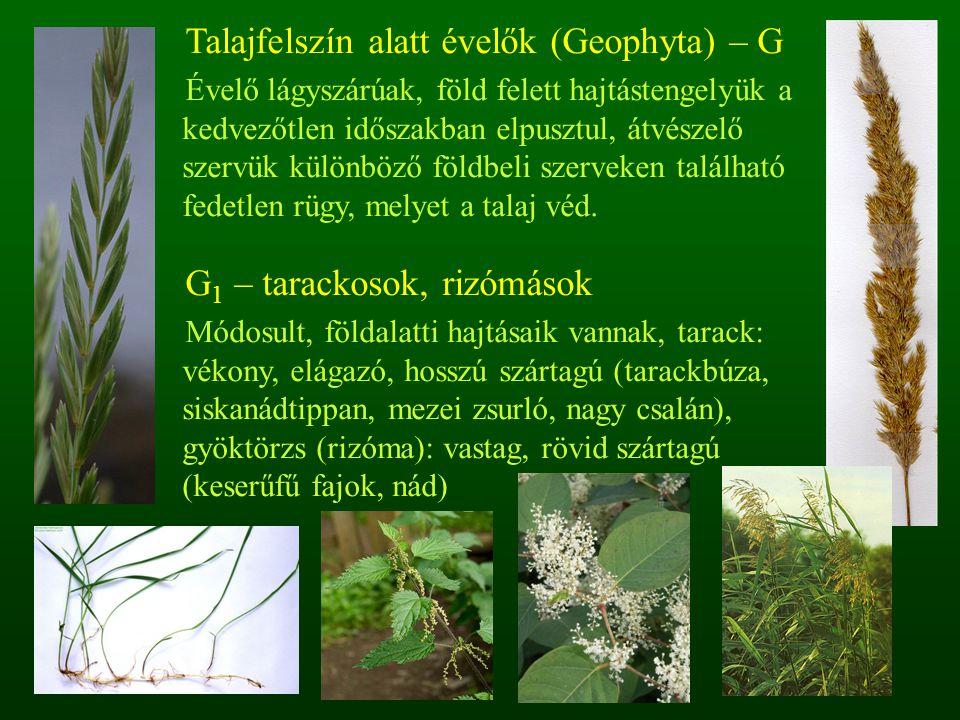 Talajfelszín alatt évelők (Geophyta) – G Évelő lágyszárúak, föld felett hajtástengelyük a kedvezőtlen időszakban elpusztul, átvészelő szervük különböz