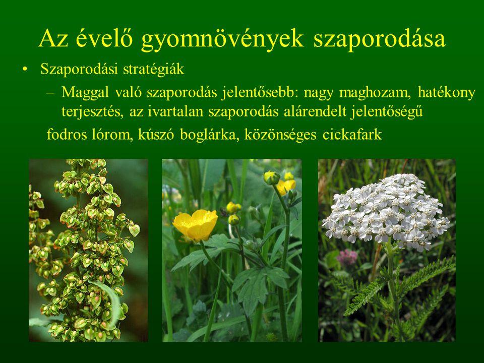–Maggal és vegetatív úton való szaporodás egyforma jelentőségű: veszélyes, nehezen irtható szántóföldi gyomnövények is tartoznak ebbe a csoportba.