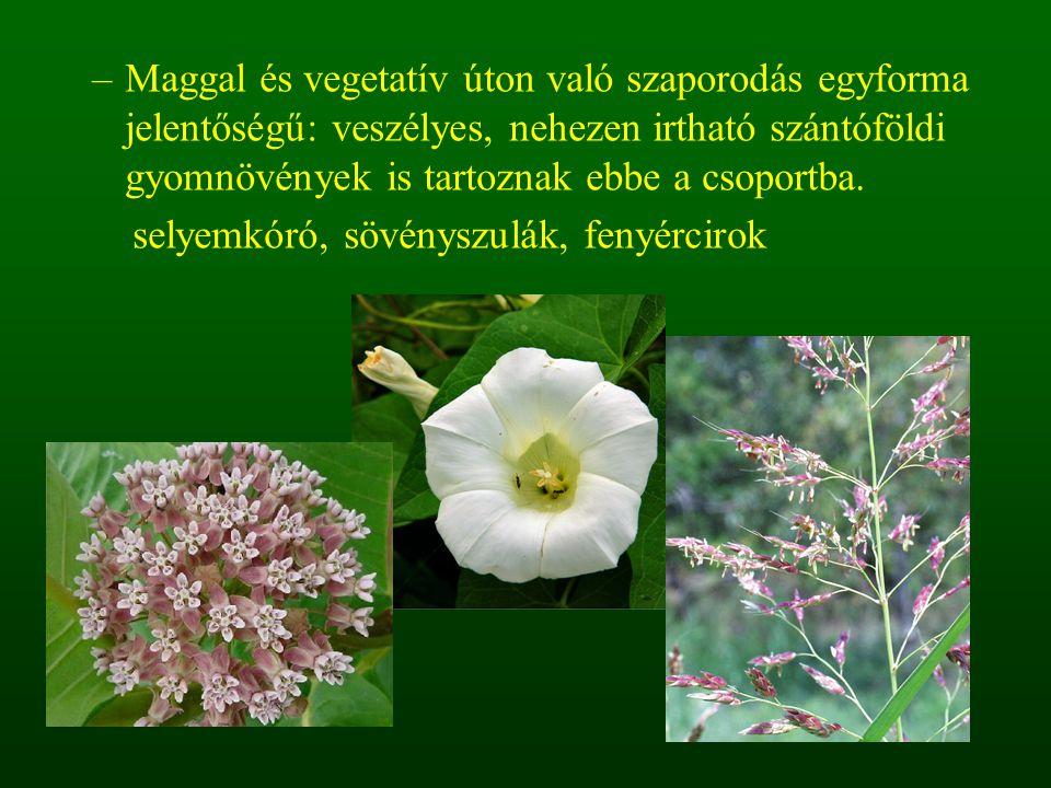 –Maggal és vegetatív úton való szaporodás egyforma jelentőségű: veszélyes, nehezen irtható szántóföldi gyomnövények is tartoznak ebbe a csoportba. sel