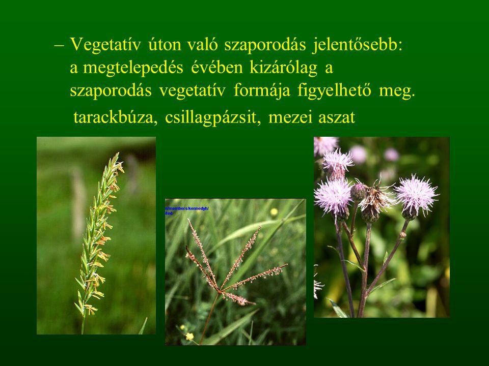 –Vegetatív úton való szaporodás jelentősebb: a megtelepedés évében kizárólag a szaporodás vegetatív formája figyelhető meg. tarackbúza, csillagpázsit,