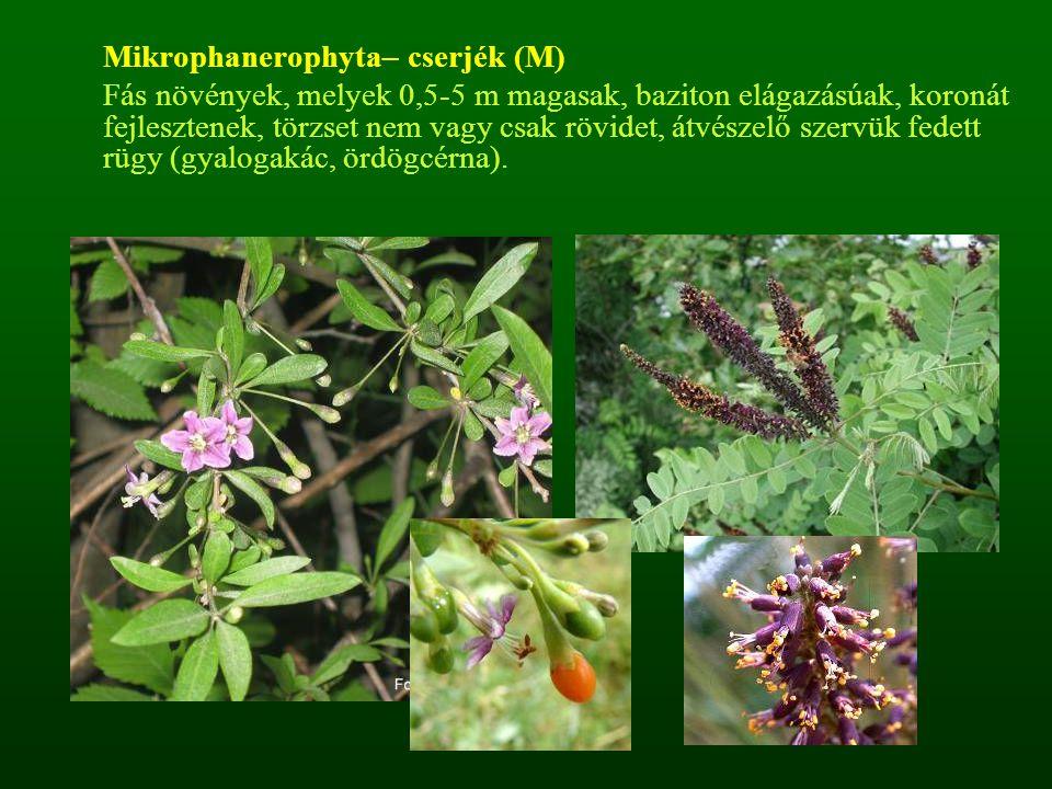 Mikrophanerophyta– cserjék (M) Fás növények, melyek 0,5-5 m magasak, baziton elágazásúak, koronát fejlesztenek, törzset nem vagy csak rövidet, átvésze