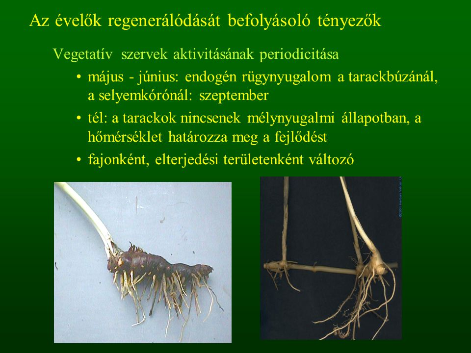 Az évelők regenerálódását befolyásoló tényezők Vegetatív szervek aktivitásának periodicitása május - június: endogén rügynyugalom a tarackbúzánál, a s