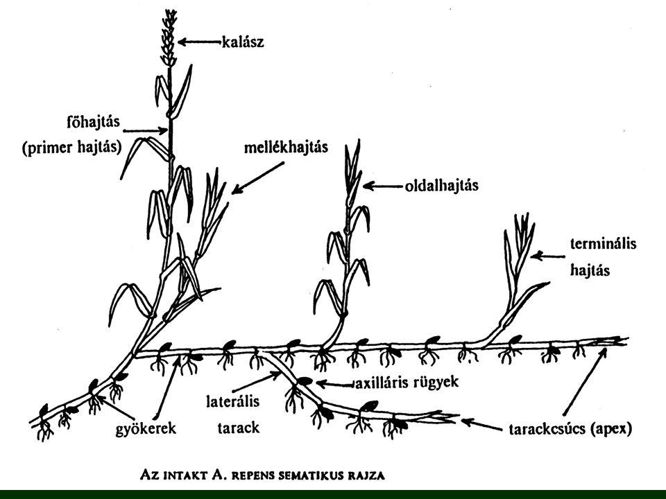 Környezeti hatások a mélység szerepe a regenerálódásban - 15 cm alatt rohamosan csökkent - 30 cm alatt megszűnt - 2,5-5 cm az optimális mélység hőmérséklet - 5-40 °C az optimális tartomány - 20-25 °C a legkedvezőbb fény - fitokrómrendszer irányítja nitrogén - magas N-szint: 74 %-os, alacsony N-szint: 33 %-os a rizómák kihajtásának mértéke szaporító szerv mérete: a tarack hossza és a kihajtó rügyek száma között negatív összefüggés van