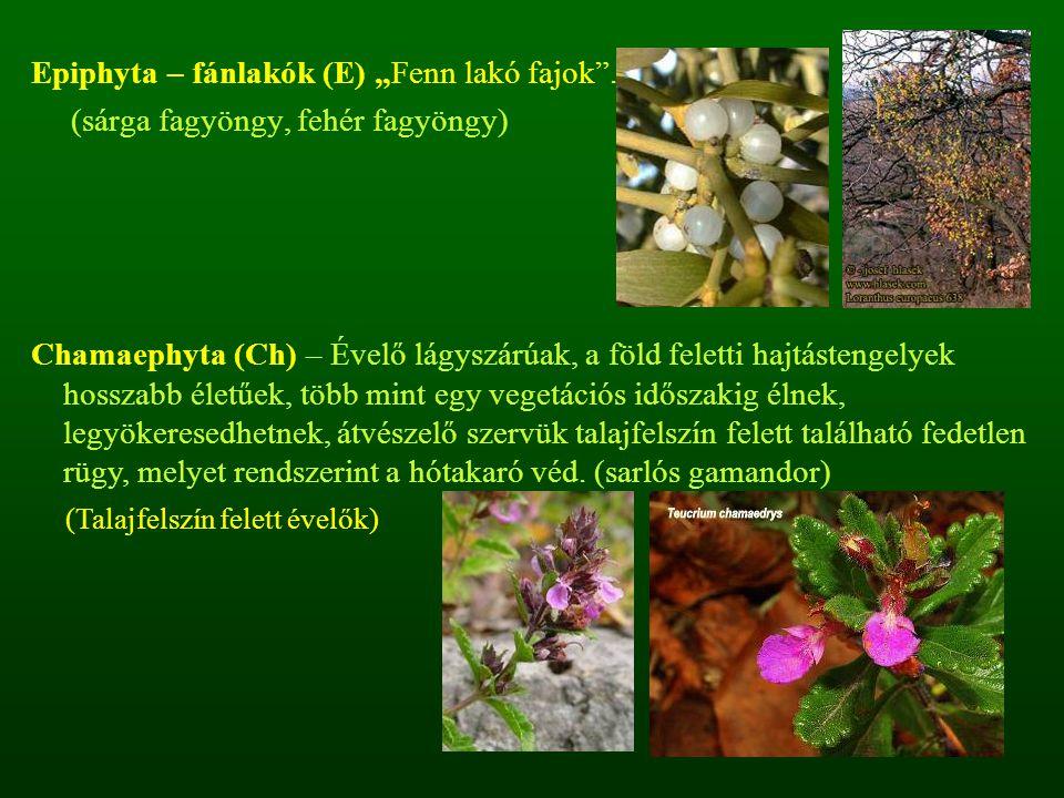 """Epiphyta – fánlakók (E) """"Fenn lakó fajok"""". (sárga fagyöngy, fehér fagyöngy) Chamaephyta (Ch) – Évelő lágyszárúak, a föld feletti hajtástengelyek hossz"""