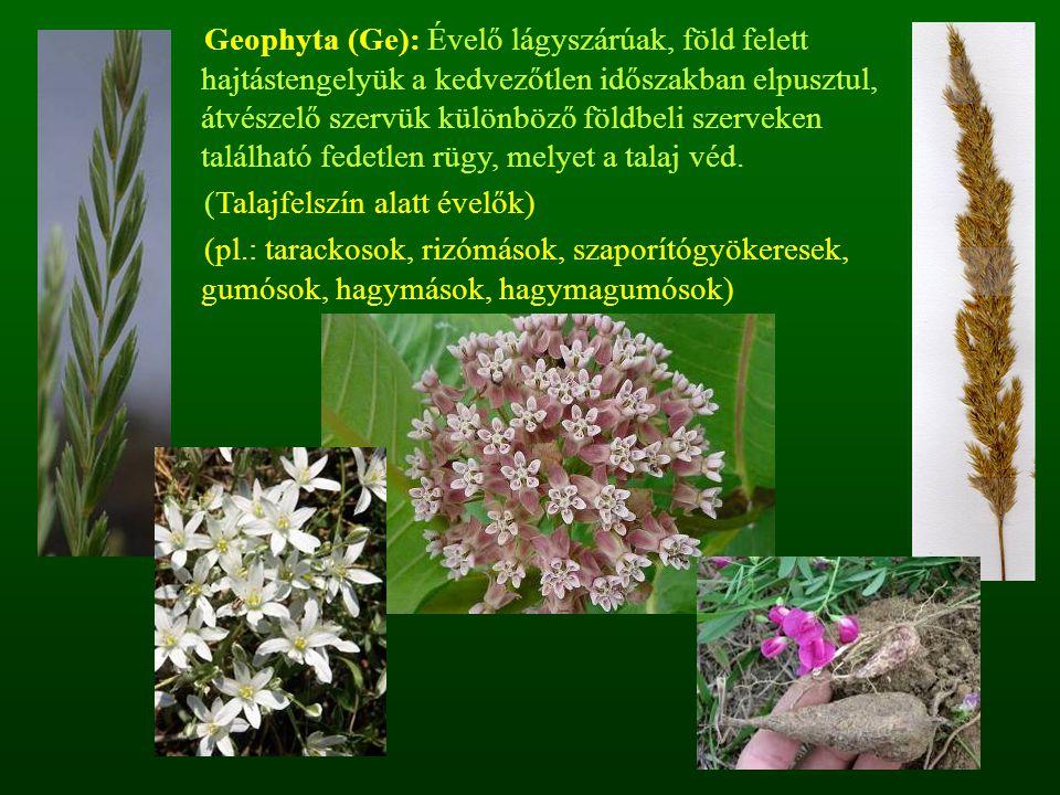 Geophyta (Ge): Évelő lágyszárúak, föld felett hajtástengelyük a kedvezőtlen időszakban elpusztul, átvészelő szervük különböző földbeli szerveken talál