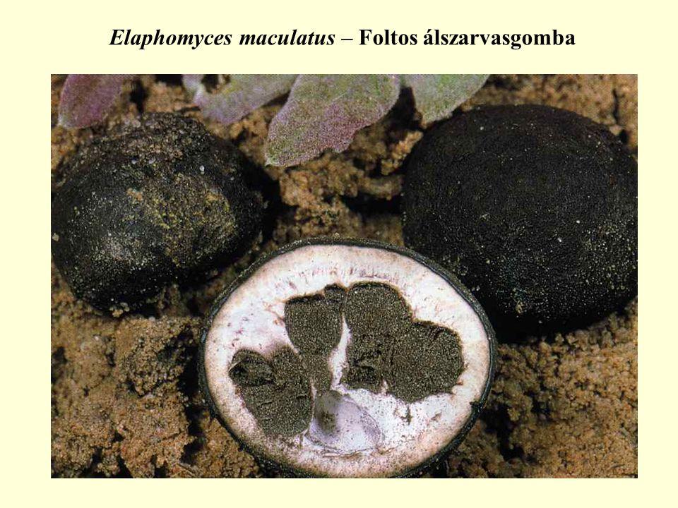 Elaphomyces maculatus – Foltos álszarvasgomba