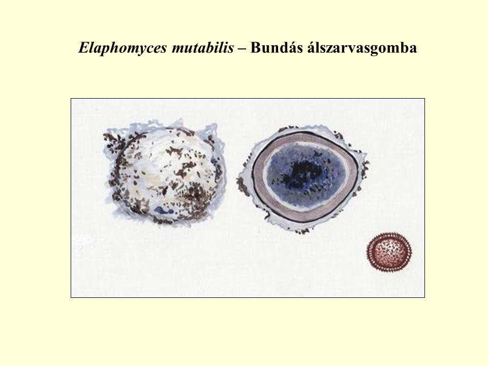 Elaphomyces mutabilis – Bundás álszarvasgomba