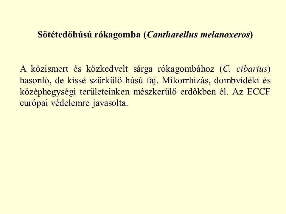 Sötétedőhúsú rókagomba (Cantharellus melanoxeros) A közismert és közkedvelt sárga rókagombához (C. cibarius) hasonló, de kissé szürkülő húsú faj. Miko