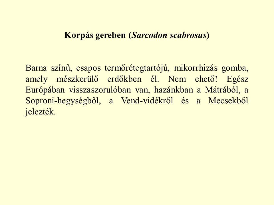 Korpás gereben (Sarcodon scabrosus) Barna színű, csapos termőrétegtartójú, mikorrhizás gomba, amely mészkerülő erdőkben él. Nem ehető! Egész Európában