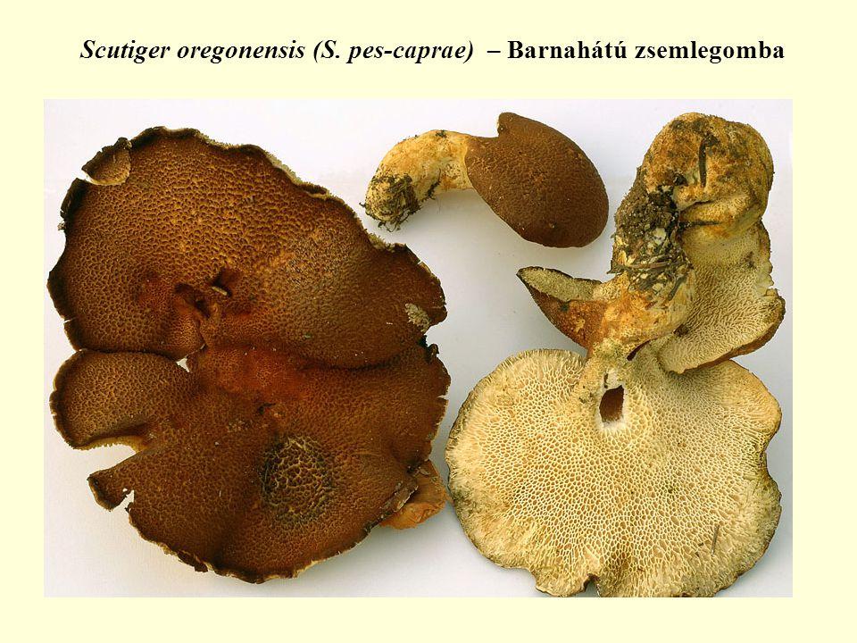 Scutiger oregonensis (S. pes-caprae) – Barnahátú zsemlegomba