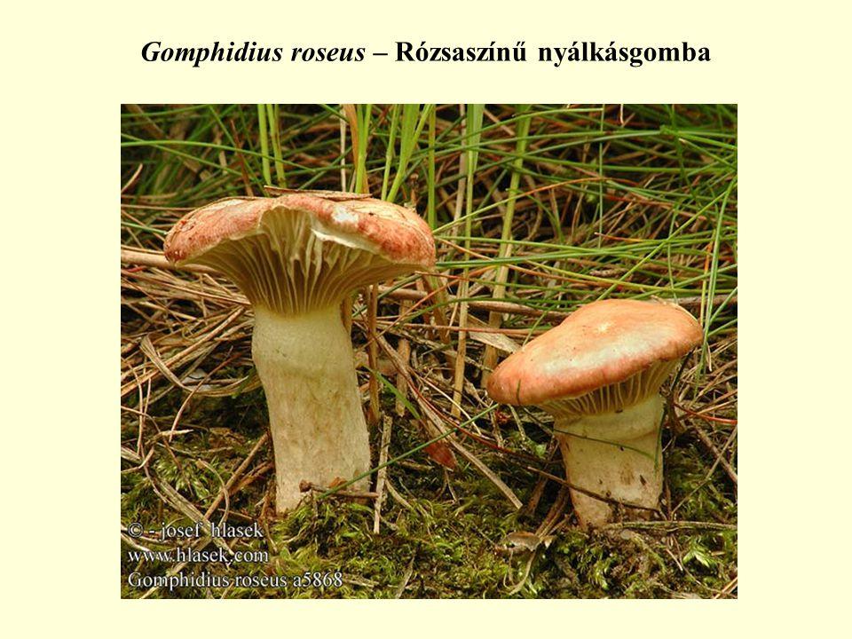 Gomphidius roseus – Rózsaszínű nyálkásgomba