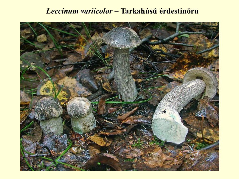 Leccinum variicolor – Tarkahúsú érdestinóru