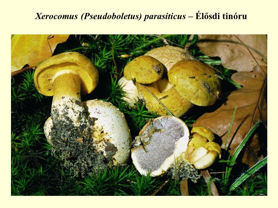 Xerocomus (Pseudoboletus) parasiticus – Élősdi tinóru