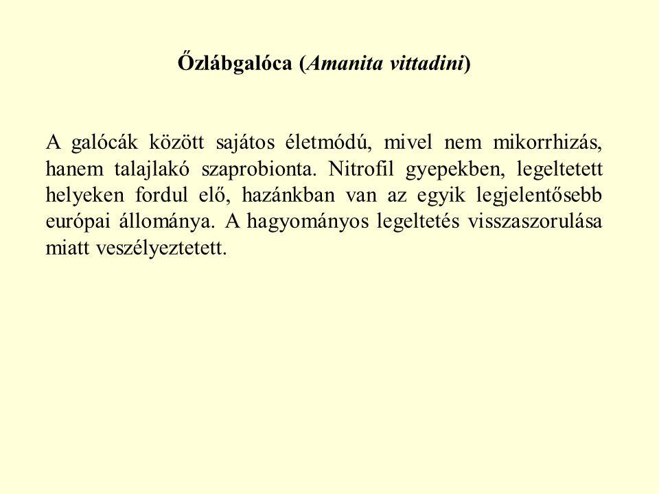 Őzlábgalóca (Amanita vittadini) A galócák között sajátos életmódú, mivel nem mikorrhizás, hanem talajlakó szaprobionta. Nitrofil gyepekben, legeltetet