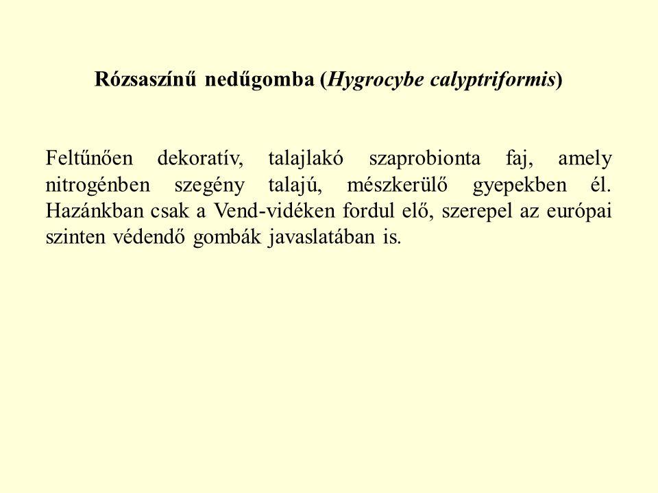 Rózsaszínű nedűgomba (Hygrocybe calyptriformis) Feltűnően dekoratív, talajlakó szaprobionta faj, amely nitrogénben szegény talajú, mészkerülő gyepekbe