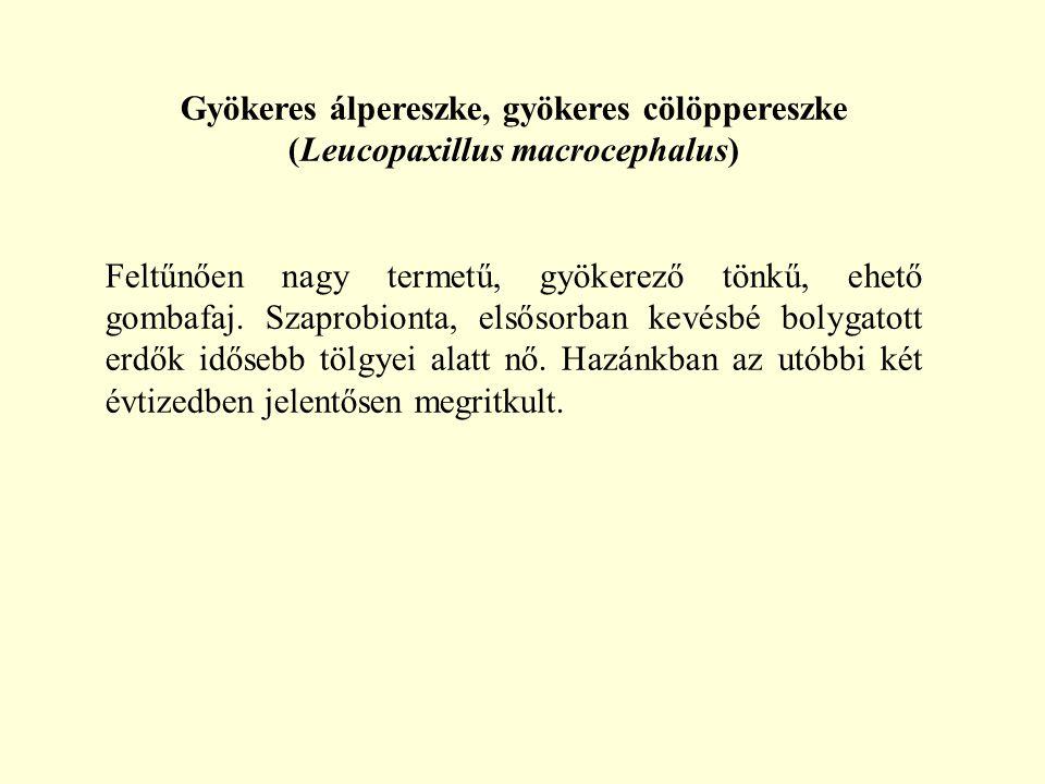 Gyökeres álpereszke, gyökeres cölöppereszke (Leucopaxillus macrocephalus) Feltűnően nagy termetű, gyökerező tönkű, ehető gombafaj. Szaprobionta, elsős