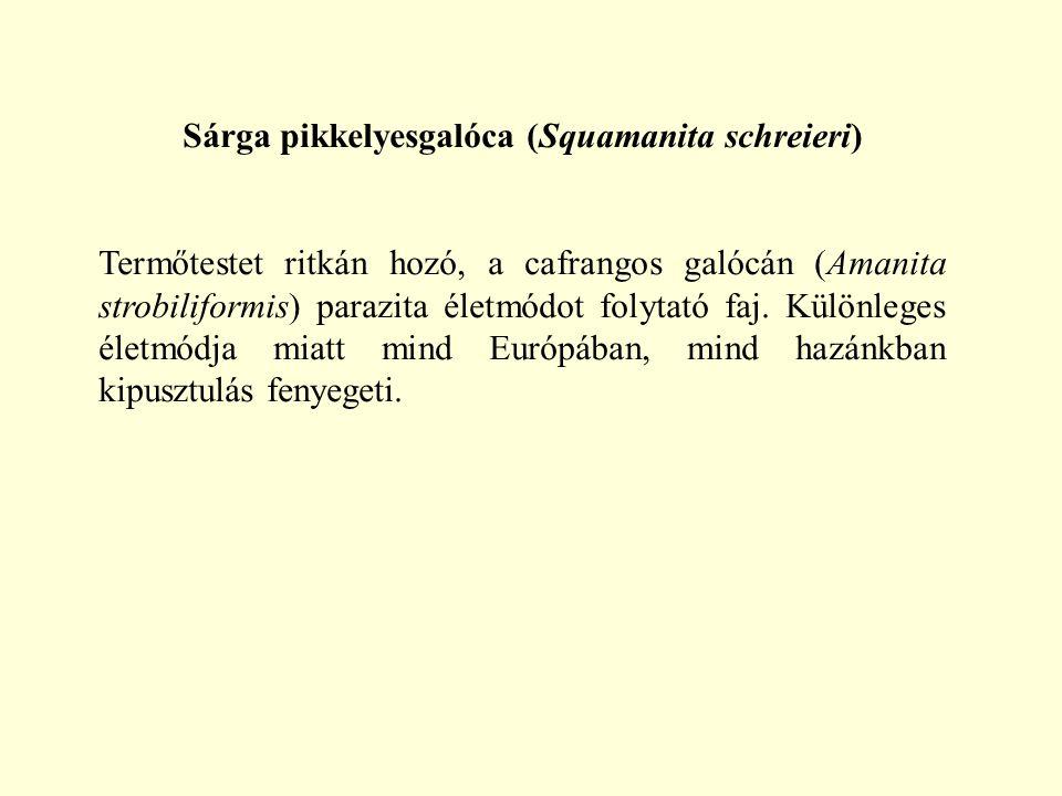 Sárga pikkelyesgalóca (Squamanita schreieri) Termőtestet ritkán hozó, a cafrangos galócán (Amanita strobiliformis) parazita életmódot folytató faj. Kü