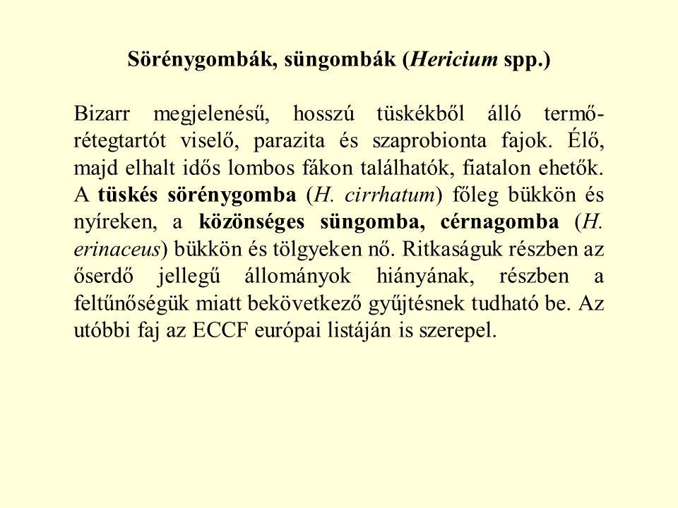 Sörénygombák, süngombák (Hericium spp.) Bizarr megjelenésű, hosszú tüskékből álló termő- rétegtartót viselő, parazita és szaprobionta fajok. Élő, majd