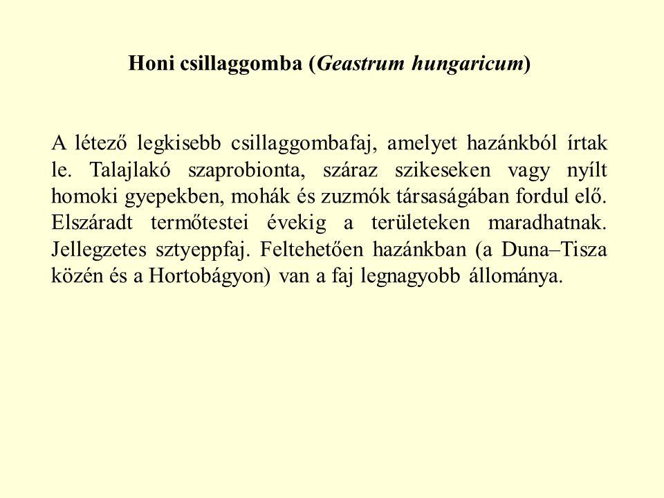 Honi csillaggomba (Geastrum hungaricum) A létező legkisebb csillaggombafaj, amelyet hazánkból írtak le. Talajlakó szaprobionta, száraz szikeseken vagy