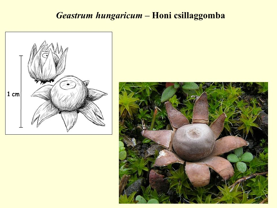 Geastrum hungaricum – Honi csillaggomba
