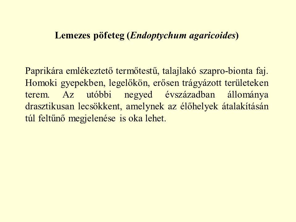 Lemezes pöfeteg (Endoptychum agaricoides) Paprikára emlékeztető termőtestű, talajlakó szapro-bionta faj. Homoki gyepekben, legelőkön, erősen trágyázot