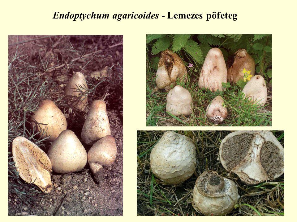 Endoptychum agaricoides - Lemezes pöfeteg