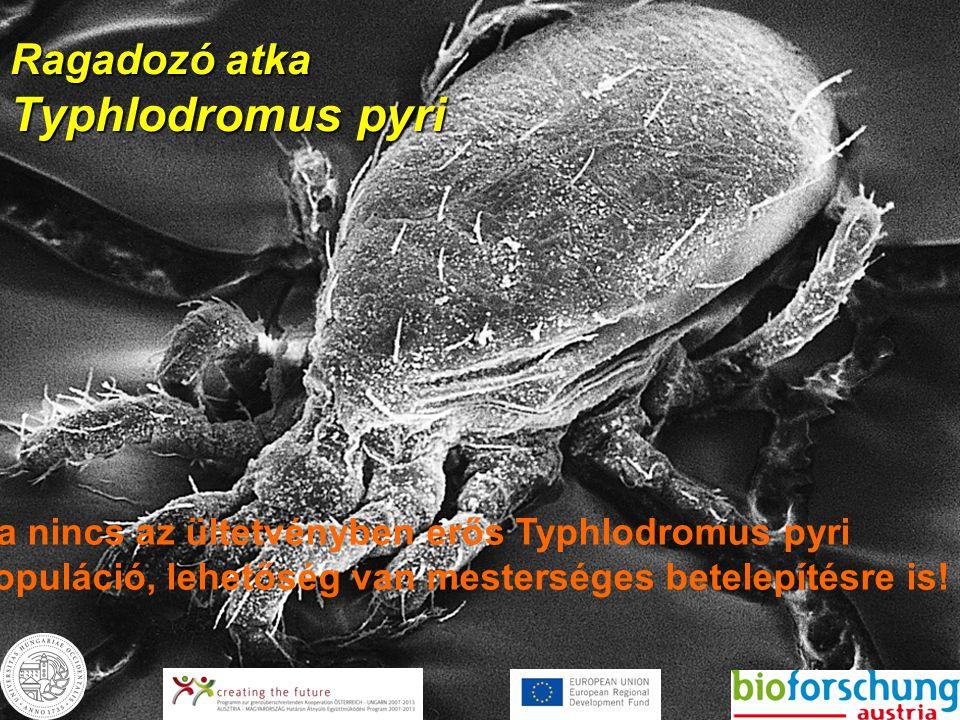Ragadozó atka Typhlodromus pyri Ha nincs az ültetvényben erős Typhlodromus pyri populáció, lehetőség van mesterséges betelepítésre is!