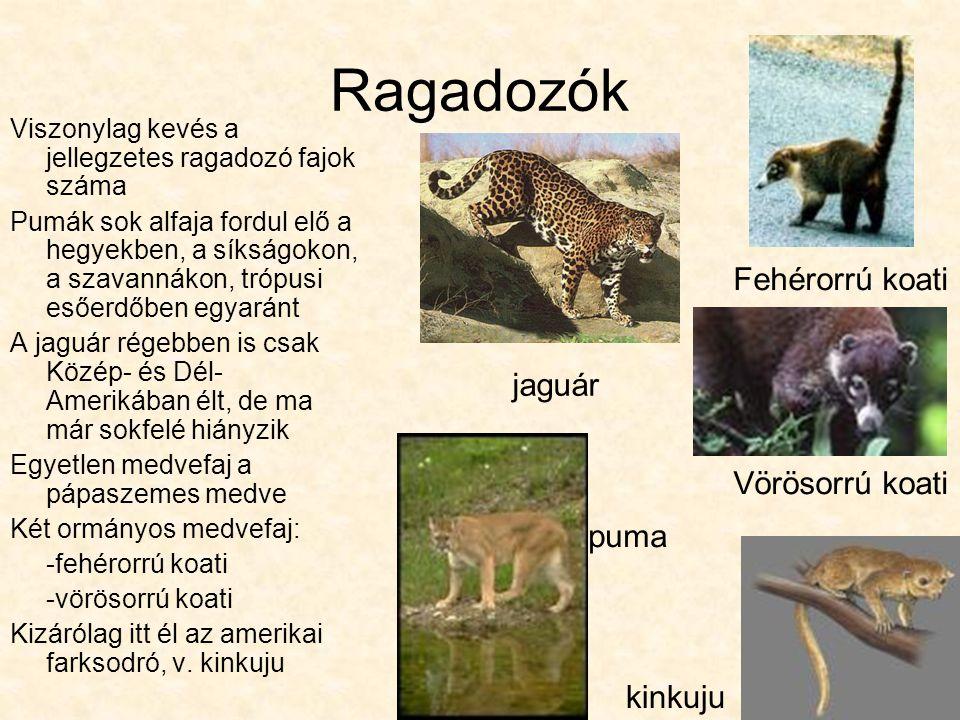 Ragadozók Viszonylag kevés a jellegzetes ragadozó fajok száma Pumák sok alfaja fordul elő a hegyekben, a síkságokon, a szavannákon, trópusi esőerdőben egyaránt A jaguár régebben is csak Közép- és Dél- Amerikában élt, de ma már sokfelé hiányzik Egyetlen medvefaj a pápaszemes medve Két ormányos medvefaj: -fehérorrú koati -vörösorrú koati Kizárólag itt él az amerikai farksodró, v.