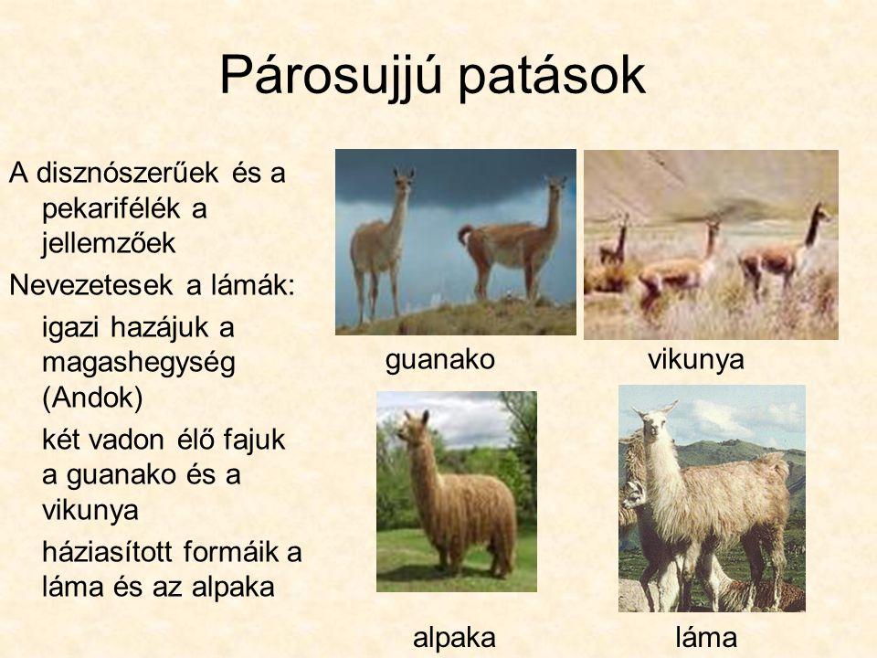 Párosujjú patások A disznószerűek és a pekarifélék a jellemzőek Nevezetesek a lámák: igazi hazájuk a magashegység (Andok) két vadon élő fajuk a guanako és a vikunya háziasított formáik a láma és az alpaka alpaka guanako vikunya láma